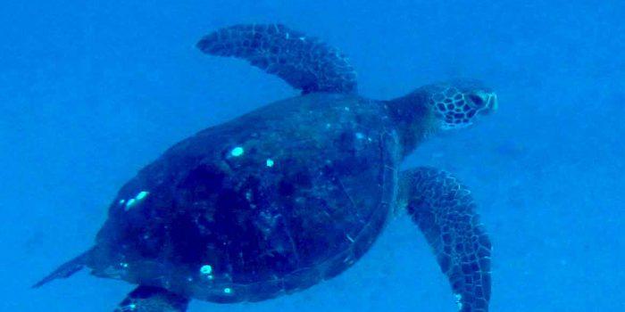 Turtles Diving Loreto BCS